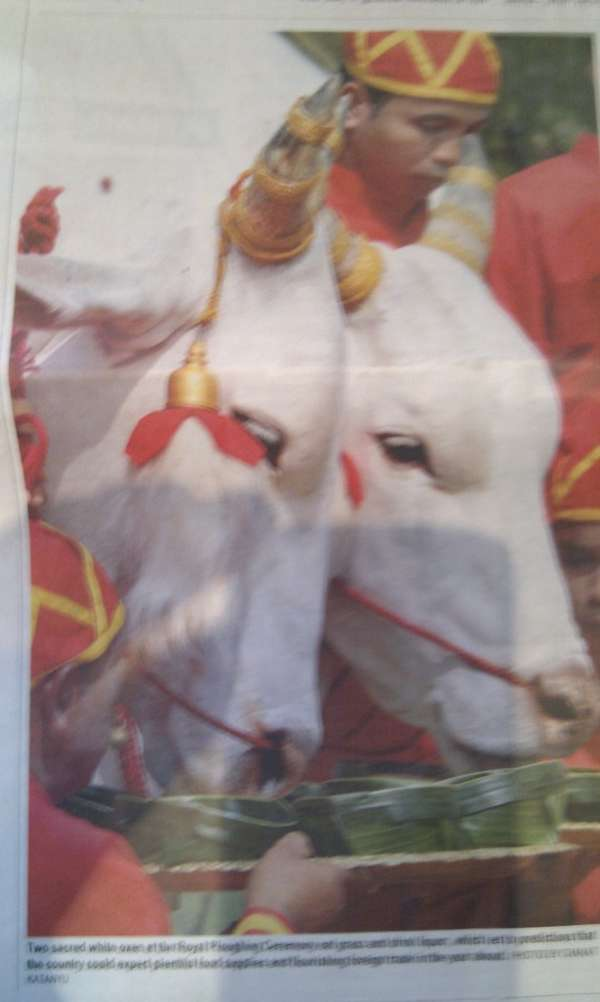Brahman Priest and White Buffalo at Royal Ploughing Ceremony